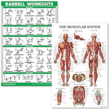 QuickFit Barbell Workouts and Muscular System Anatomy Poster Set - Laminated 2 Chart Set - Barbell Exercise Routine & Muscle Anatomy Diagram  18  x 27