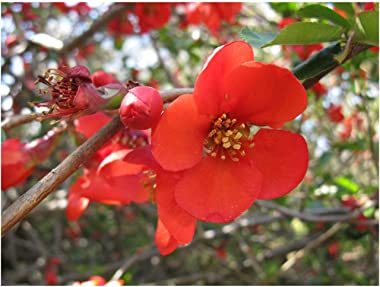 """Spitfire Flowering Quince - Chaenomeles - Perenial - Healthy Established Roots - 4"""" Pots - 3 Plants by Growers Solutiion"""