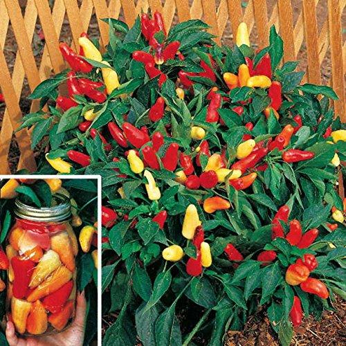Graines de légumes 200 graines sucré Pickle poivre, NON OGM, les graines bonsaï poivre SeedsAndPlants jardinage