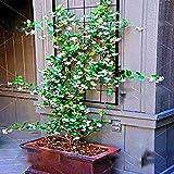 50pcs/Bag Rare Climbing Jasmine Flower Seeds White Jasmine Seeds Fragrant Plant Arabian Jasmine Seed Bonsai Plant Home Garden
