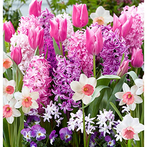 "40x Blumenzwiebeln Mix""Border Garden Pink"" | 40er Set Rosa Blütenmischung | Chionodoxa + Narcissus + Hyacinthus + Tulipa | Rosa Blüten | Blumenzwiebeln Frühblüher"