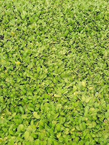 Baumschule Pflanzenvielfalt Cotula dioica - Fiederpolster