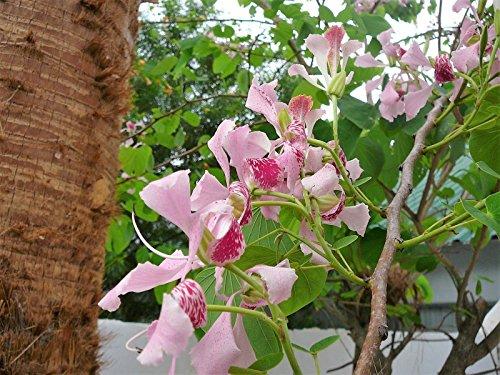 Nouveau ROSE ORCHID TREE arbre orchidée papillon Calia fleur Hummingbird Graines