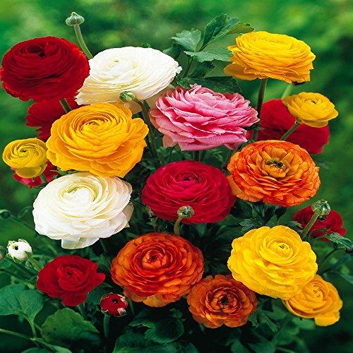 Harnblumenzwiebeln asiaticus Mix - 20 Blumenzwiebeln