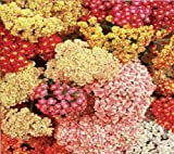 JustSeed Blume Achillea millefolium Sommer Beeren gemischt 50 Samen