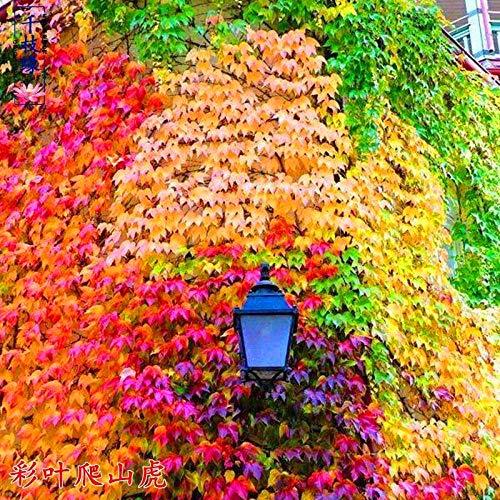 Plantas Coloridas Semillas,Parthenocissus Creeper Cuatro Estaciones de Hoja perenne Planta Flor semilla-Mashup 60,Ornamentales para balcón, Jardín