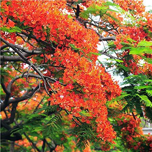 Aerlan mehrjährig winterhart Samen,Jacaranda Balcony Garden Flower seeds-50,Samen für Ihr Garten Balkon