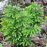 New - Ground Pine - Lycopodium 200 Spores