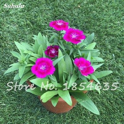 Inde importation Œillets Seed Dianthus caryophyllus Embellir et de purification d'air bricolage jardin Plantation maman cadeau 120 Pcs 7