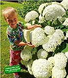 BALDUR Garten Schneeball-Hortensie Annabelle 1 Pflanze Gartenhortensie winterhart Hydrangea arborescens