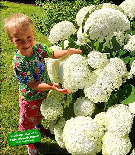 BALDUR Garten Schneeball-Hortensie Cloudi;1 Pflanze Gartenhortensie winterhart Hydrangea arborescens