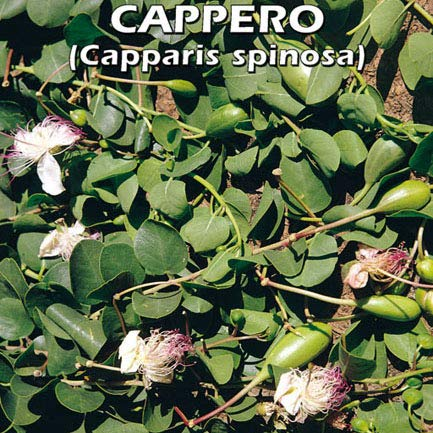 CAPPERO (Capparis spinosa) (SEMI)
