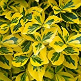 Euonymus fortunei Emerald and Gold
