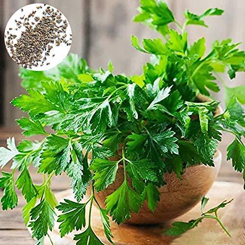 Catkoo 500Pcs Semillas De Perejil Vegetales Nutritivos No Transgénicos Huerto Casero Jardín Granja Planta, No Transgénicos, Ricos En Vitamina C Semillas de perejil