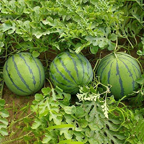 Semillas de frutas semillas vegetales100pcs/bolsa semillas de sandía vitamina incluyen semillas de sandía natural georgic rústico para la granja - semillas de sandía