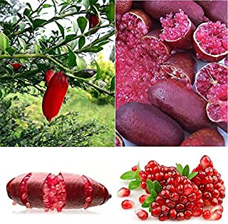20Pcs Ice Pink Finger Fruit Lime Seed Rare Plant Home Garden Balcony Red