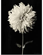 GREATBIGCANVAS Poster Print Botanical Elegance Dahlia by Amy Melious 12