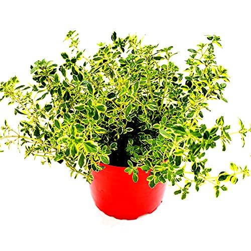 Zitronen Thymian Kräuter Pflanze Thymus citriodorus 3stk.