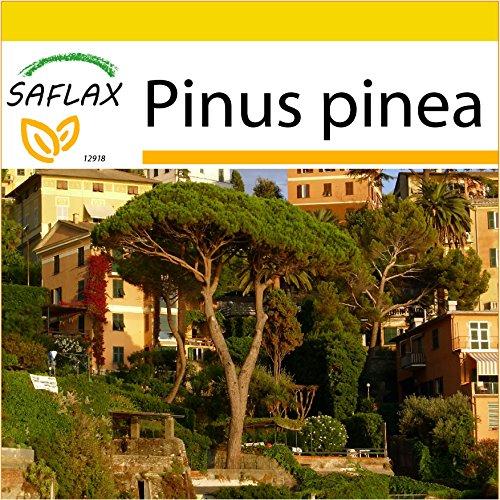 SAFLAX - Anzucht Set - Mittelmeer - Pinie - 6 Samen - Mit Mini-Gewächshaus, Anzuchtsubstrat und 2 Töpfen - Pinus pinea