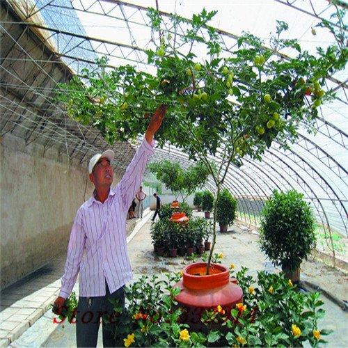 Vente! 100 tomates Semences Semences potagères, doux, mignon jardin des plantes Idéal bricolage, ajouter de la couleur lumineuse à votre maison, bonne .Age recherche