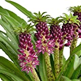 Eucomis Sparkling Burgundy -Pineapple Lily (2 Bulb) Zones 9-11 Tropical Plant .
