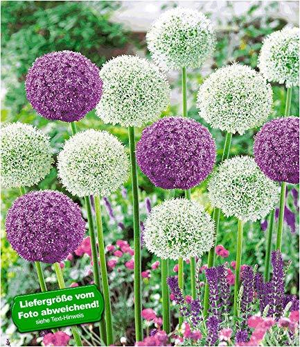 BALDUR-Garten Riesen-Allium DUO 9 Zwiebeln Zierlauch weiß und blau Allium Ambassador u Mount E