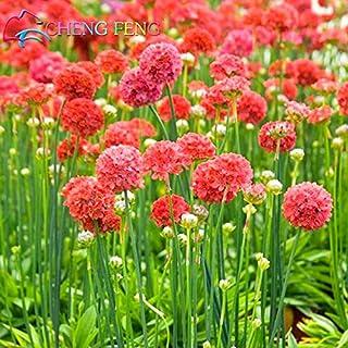 100 semillas de pastos marinos PC A Semillas Lote Wctch Rose Bonsai raros de la flor de los bulbos Flores Sementes para jardín hermosas plantas Jardin