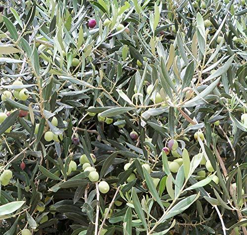 Portal Cool Spanisch Olive * 15 Samen aus meinem eigenen Baum In Spanien