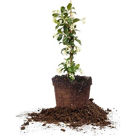 Perfect Plants Confederate Jasmine Live Plant, 1 Gallon, Includes Care Guide
