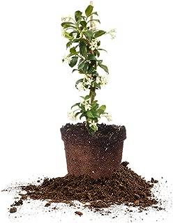 Best midnight jasmine plant for sale Reviews