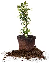 Perfect Plants Confederate Jasmine Live Plant, 1 Gallon, Includes Care Guide