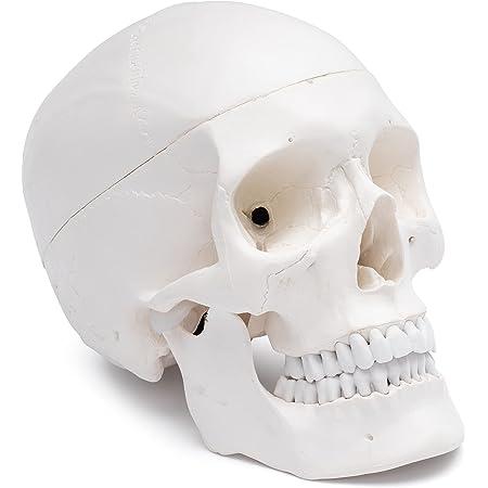 Cranstein Scientific A-210 Crâne – Modèle d'apprentissage de l'anatomie 3 pièces