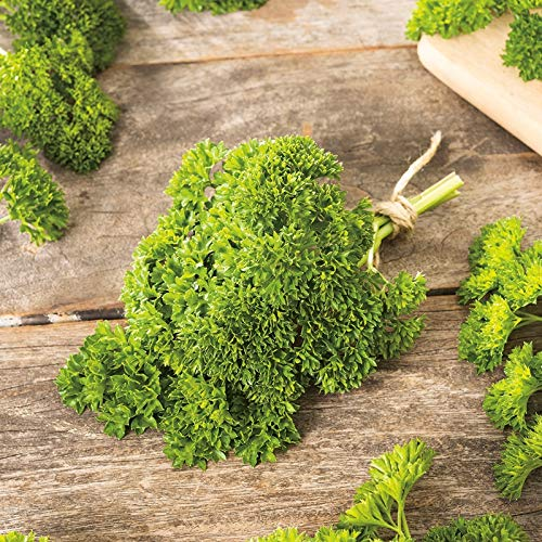 Frisé mousse persil jardin Graines Jour non OGM 80 Saveur aromatique (50)