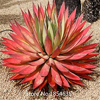 Garden Plant Succulent Flowering Perennial Plant Agave seeds, Bonsai plant seeds 100pcs Bonsai Seed