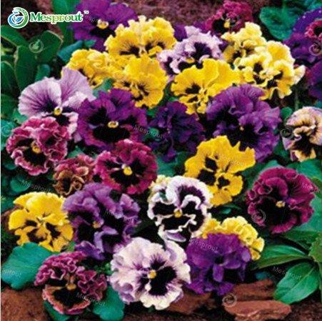 100seeds / pack belles graines pansy Mix Couleur Wavy Viola Tricolor Fleur Graines bonsaï pot bricolage maison et jardinage