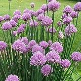 semi di erba cipollina cinese, 3000 pezzi, scalogno primavera cipolla fiore semi di fiori casa balcone giardino bonsai decorazione