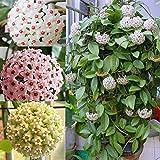 QHYDZ Garden-100pcs Rara Semillas Flores Trepadores...