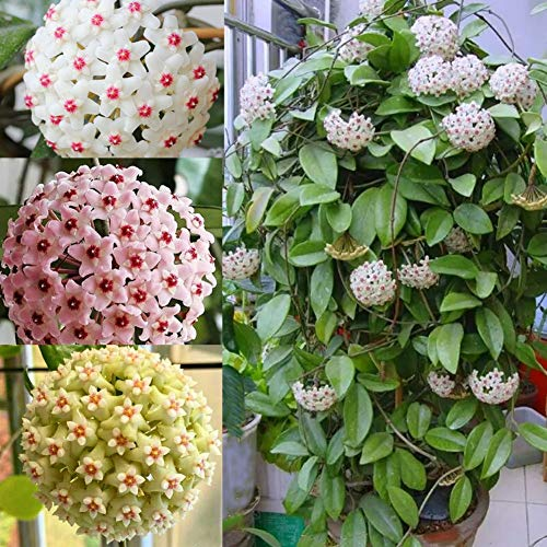 Rarität Exotische Kletterpflanze Hoya Carnosa Blumensamen, Wachsblumen Hoya Porcelainflower Kletterstrauch Sattgut Wunderschöne Blühpflanze Pflegeleichter für Wände Zäune Rankgerüste Garten Haus Deko