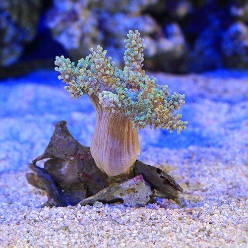(海水魚 サンゴ)沖縄産 カワラフサトサカ ライトグリーン Sサイズ(1個) 本州・四国限定[生体]