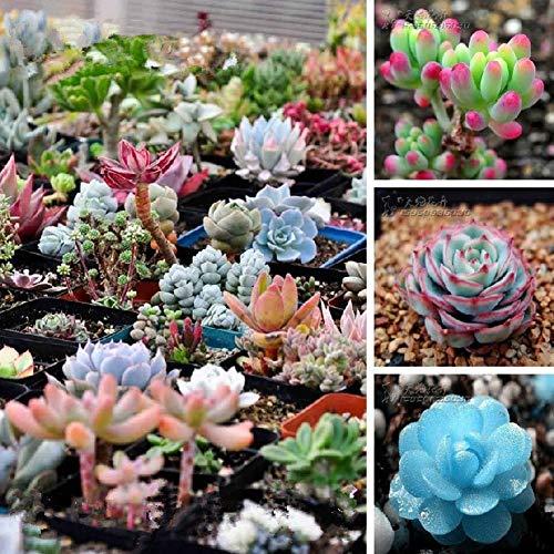 Qbisolo Misto 100 Semi Succulente Piante Lithops Pseudotruncatella Semi Cactus e Piante Grasse per Bonsai, Balcone, Casa, Giardino Ornamento