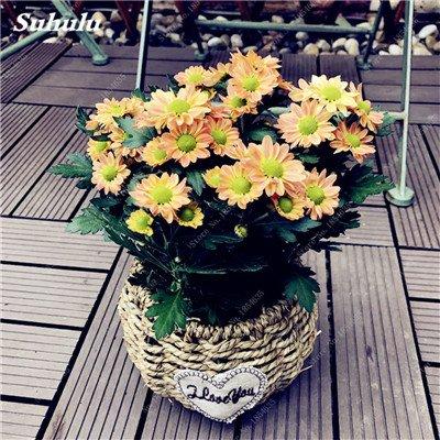 Grosses soldes! 50 Pcs Daisy Graines de fleurs crème glacée parfum de fleurs en pot Chrysanthemum jardin Décoration Bonsai Graines de fleurs 1