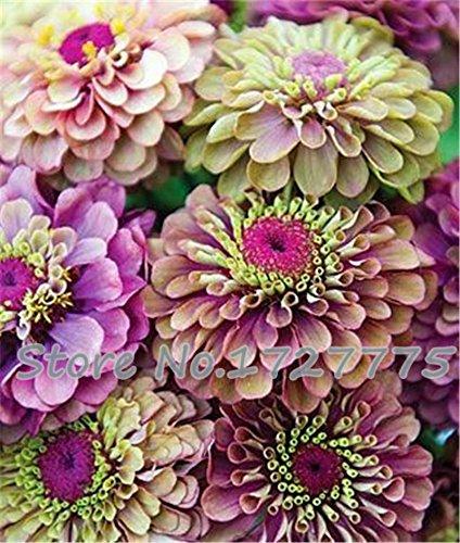 Zinnia elegans Scabiosa Color Mix Petite Fleur Zinnia environ 100 pcs graines pot bonsaï bricolage jardin maison fleur, facile pourpre de plus en plus