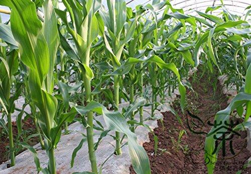 Happy Sweet Seeds Farm Noir maïs pour la plantation de 400 pcs, herbes annuelles pour les supermarches Grain Graines, Zea Mays Semences du maïs