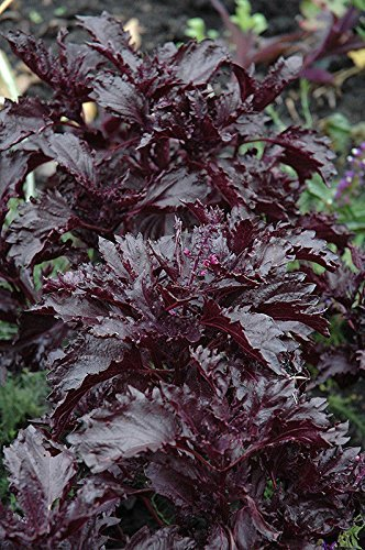 Basile, Violet Volants, violet foncé basilic, 290 graines! Groco