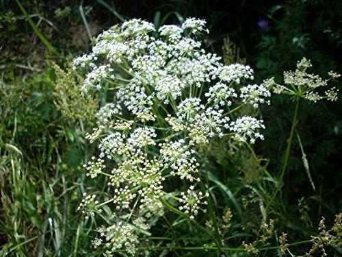 Lot de 50 Graines semences anis verte Taille 15 à 40 cm plante aromatique potagère