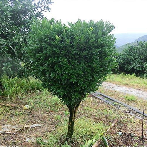 Semillas Bonsai álamo amarillo una buena opción para las familias absorber el formaldehído Buxus maceta árbol chino del boj Semillas 120PCS
