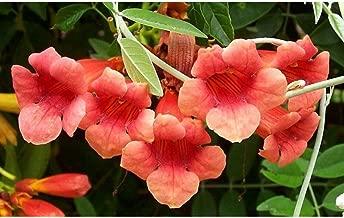50 Campsis Tagliabuana Madame Galen Seeds #DS04
