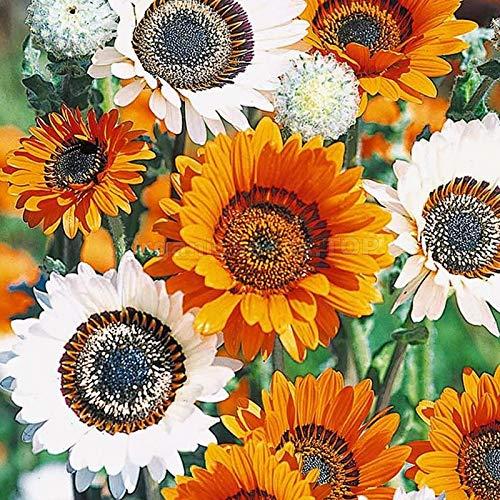 Derlam Samenhaus-50 Pcs Bärenohr Sommerblume Bärenohrsamen Blumensamen Saatgut winterhart Bio bonsai topf Samen