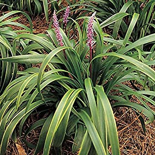 (6 Plants Classic Plants) Liriope muscari Gold Band Lily Turf has Variegated Leaf Blades, Green with Gold Borders. Blooms with Dense, Lavender Flower Spikes mid-Summer.