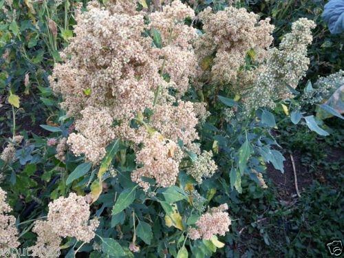 Quinoa Pflanzen Samen- 'Mint Vanille- große Köpfe reifen gleichmäßig, Neuzüchtung!